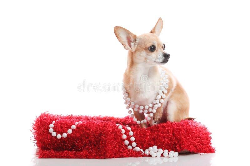 Cão da sociedade alta foto de stock royalty free