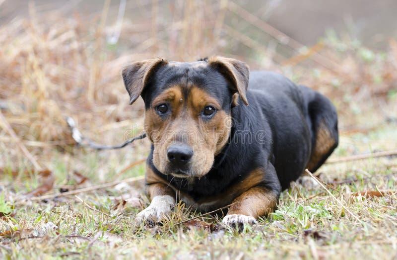 Cão da vira-lata do pastor de Basset Hound com tiquetaque na testa foto de stock