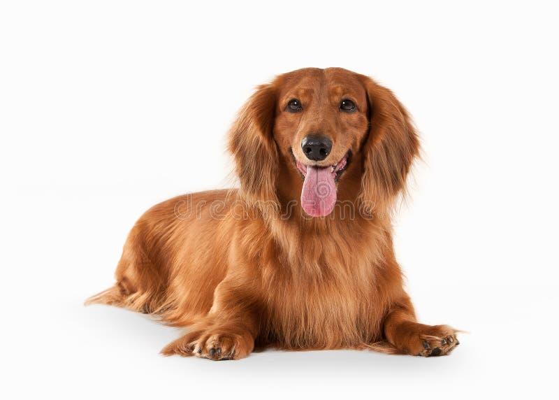 Cão Dachshund de Brown no fundo branco imagens de stock