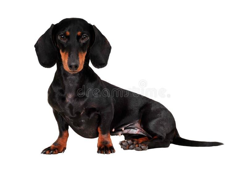 Cão (dachshund) isolado no fundo branco imagens de stock royalty free