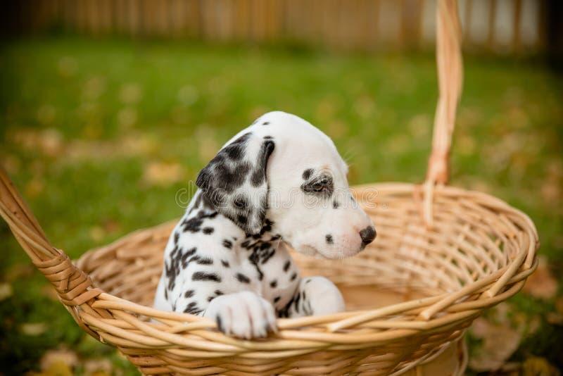 Cão dalmatian adorável fora no verão, outono Cachorrinho pequeno Dalmatian, bonito na cesta Cão doméstico pequeno bonito bom imagem de stock royalty free
