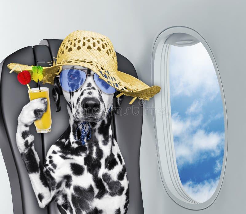 Cão dalmatian bonito a bordo do airplain com suco foto de stock royalty free