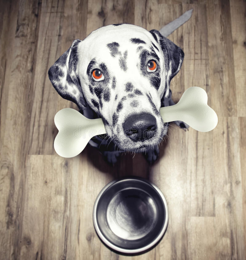 Cão dalmatian bonito com um osso saboroso em sua boca imagens de stock royalty free