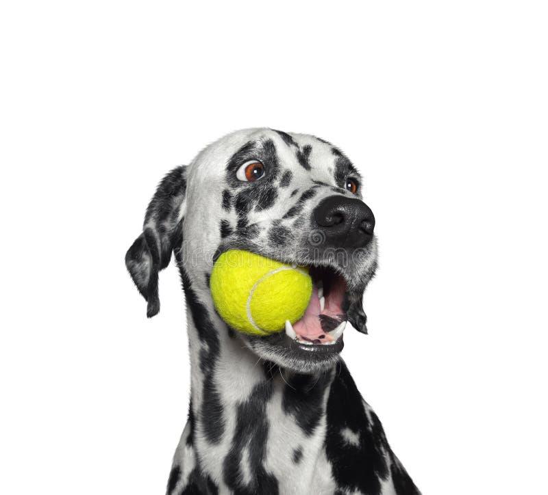 Cão dalmatian bonito que guarda uma bola na boca Isolado no branco imagem de stock royalty free