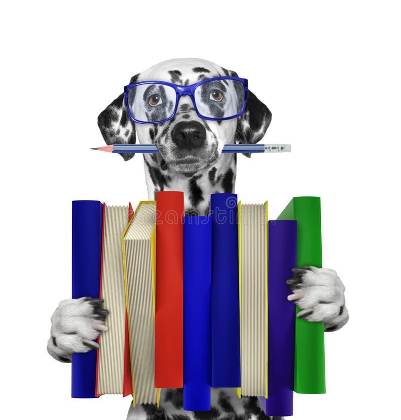 Cão dalmatian bonito que guarda uma pilha grande de livros -- no branco foto de stock royalty free