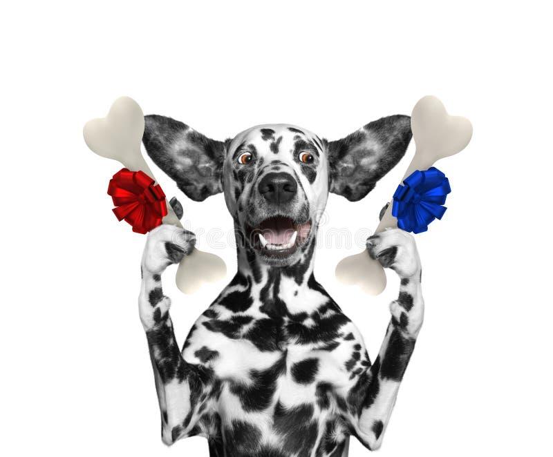 Cão dalmatian bonito que olha os ossos com surpresa Isolado no branco fotos de stock