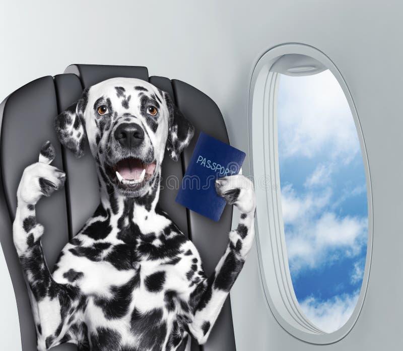 Cão Dalmatian a bordo do airplain com passaporte imagem de stock royalty free