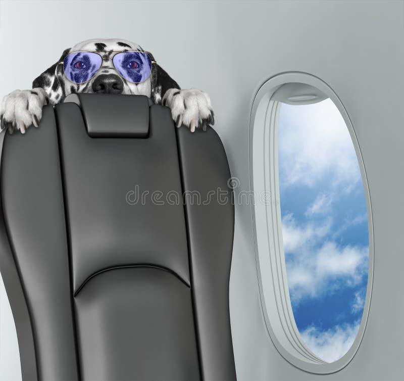 Cão Dalmatian a bordo do airplain que olha com horror fotos de stock