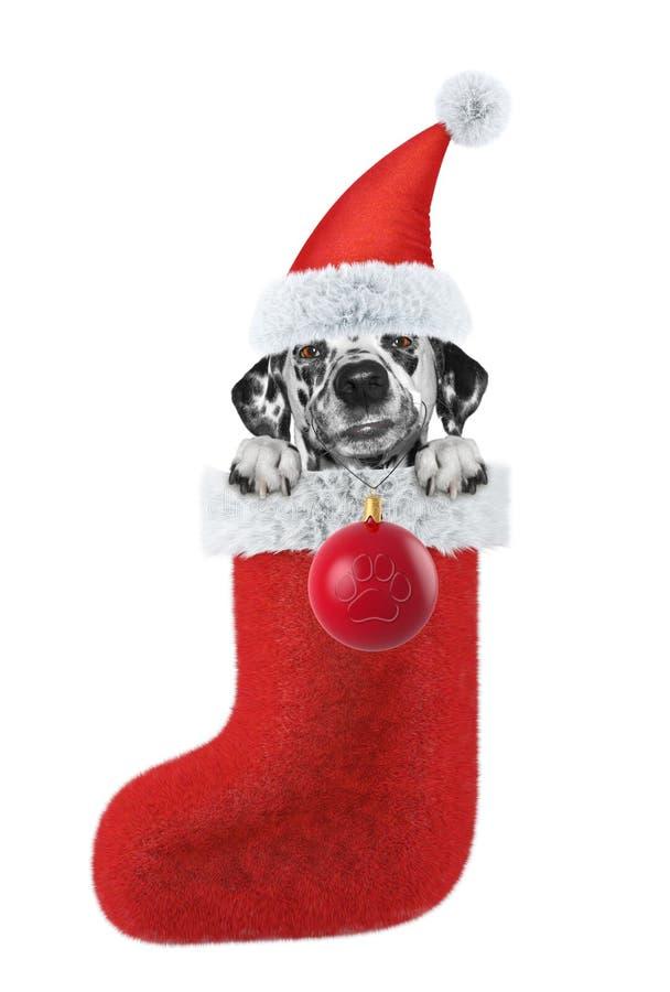 Cão Dalmatian com meia e bola do Natal Isolado no branco fotografia de stock