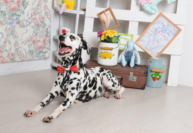 Cão Dalmatian em um laço vermelho no interior gasto brilhante Objetos retros, decoração do vintage fotografia de stock