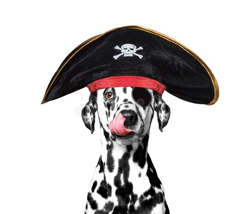 Cão Dalmatian em um traje do pirata fotografia de stock
