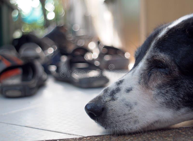 Cão Dalmatian nenhum puro-sangue imagens de stock