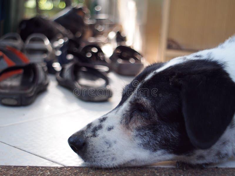 Cão Dalmatian nenhum puro-sangue imagem de stock royalty free