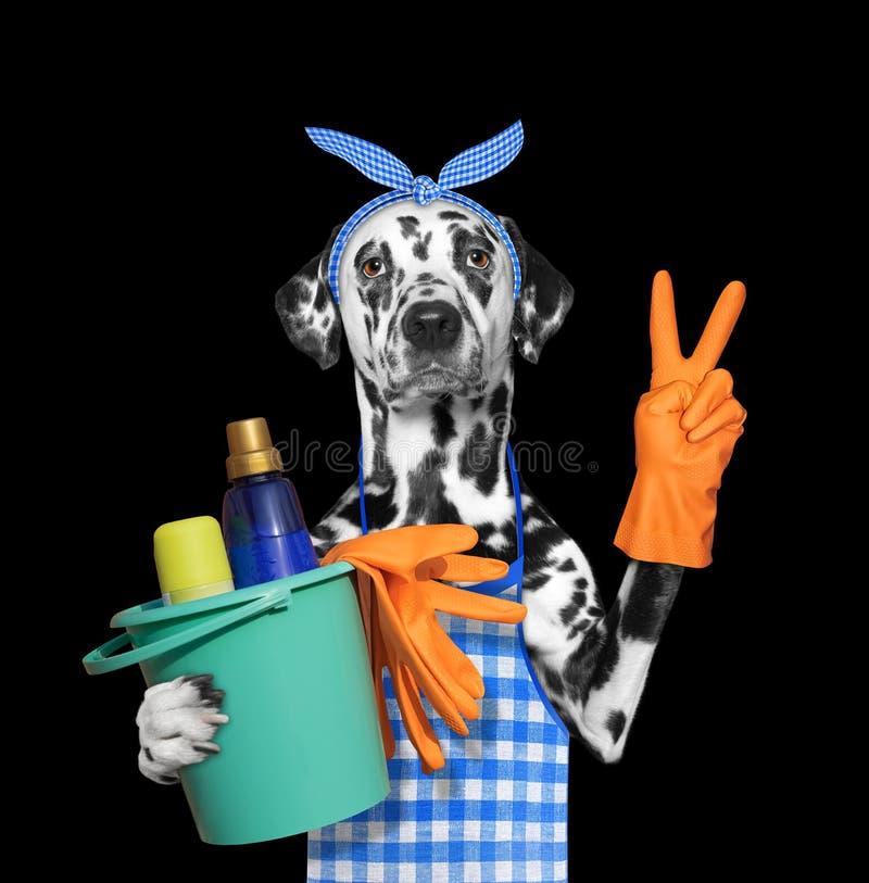 Cão Dalmatian no avental que faz tarefas de agregado familiar Isolado no preto imagens de stock