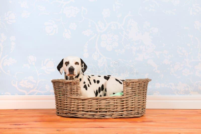 Cão Dalmatian que coloca na cesta fotografia de stock