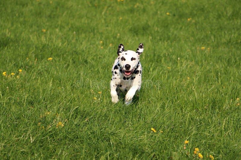 Cão Dalmatian running imagem de stock