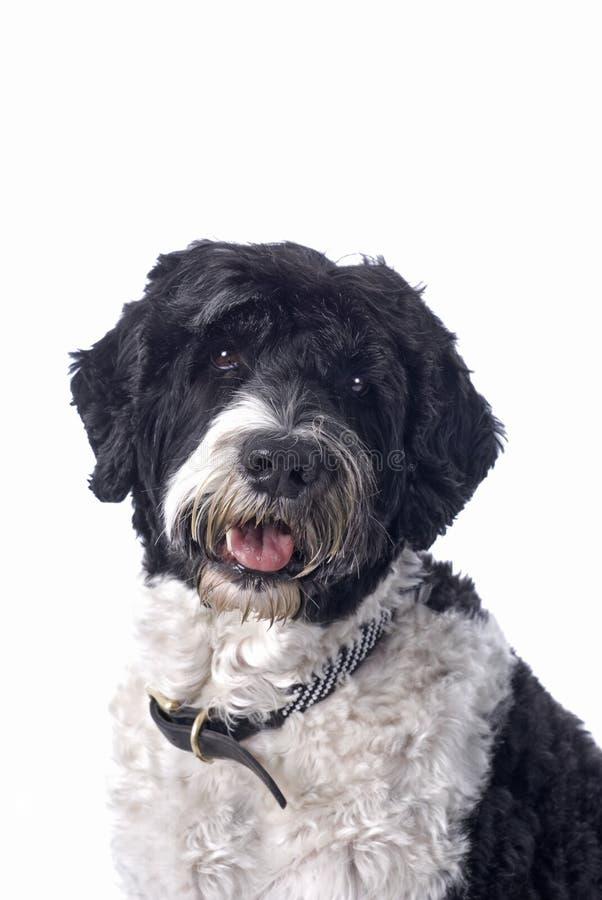 Cão de água português foto de stock royalty free