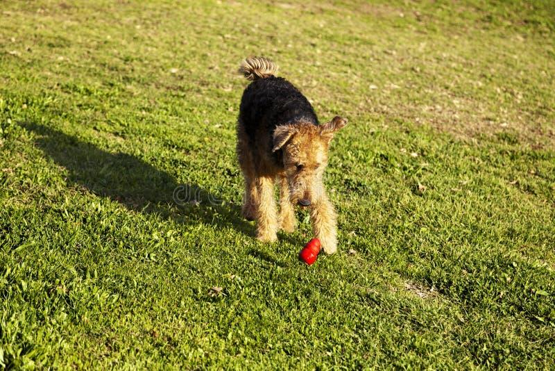 Cão de Airdale Terrier que corre com o brinquedo da mastigação no parque imagem de stock royalty free