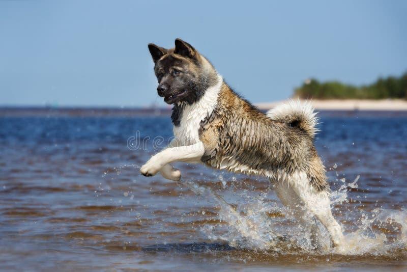 Cão de akita do americano que joga em uma praia fotos de stock royalty free