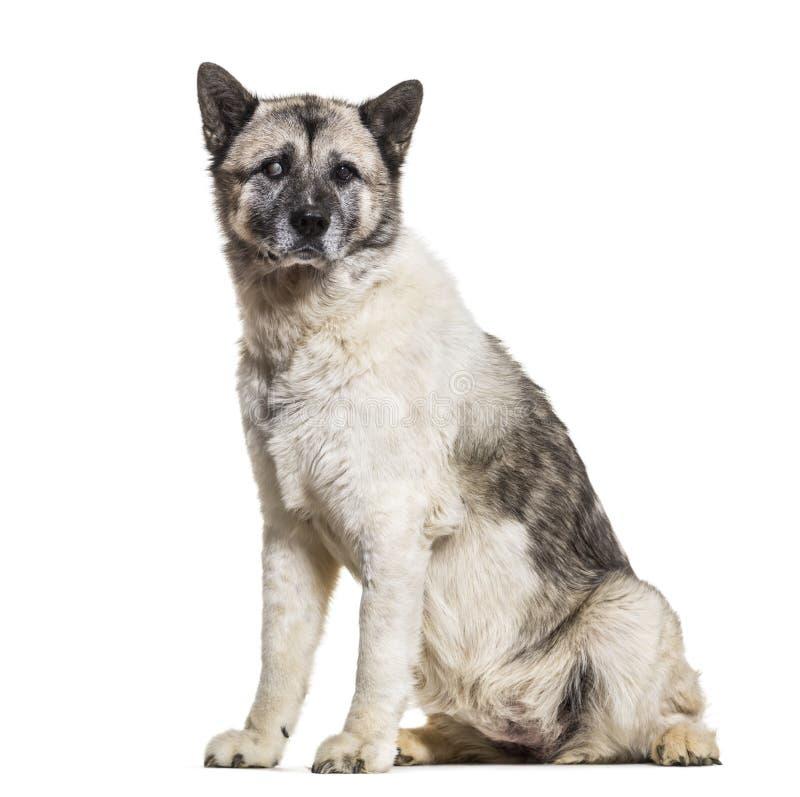 Cão de Akita Inu, 13 anos velho, sentando-se contra o fundo branco imagem de stock royalty free