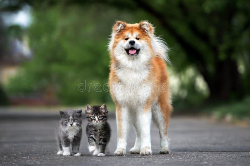 C?o de Akita que levanta com os dois gatinhos macios fora imagens de stock