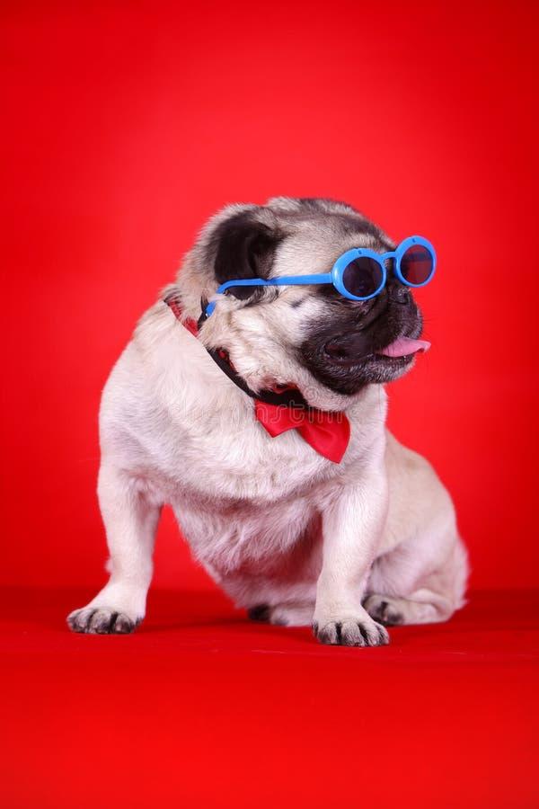 Cão de animal de estimação engraçado foto de stock