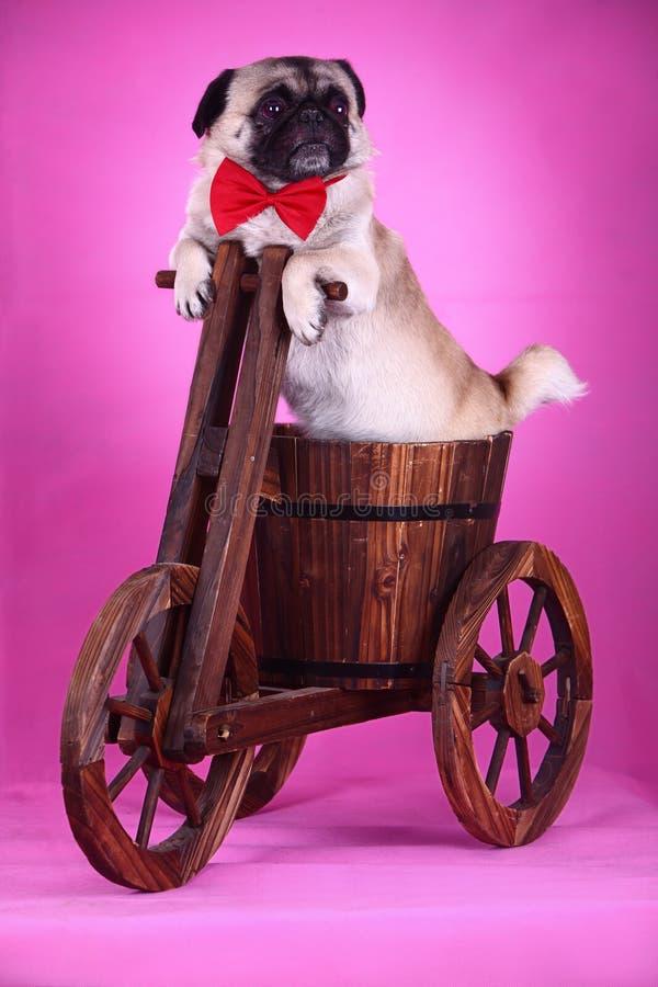 Cão de animal de estimação engraçado imagens de stock royalty free