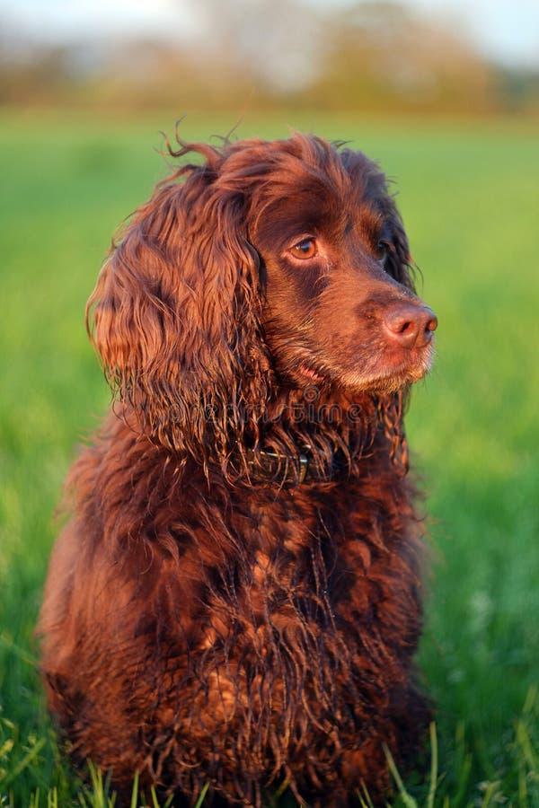 Cão de arma no campo imagens de stock