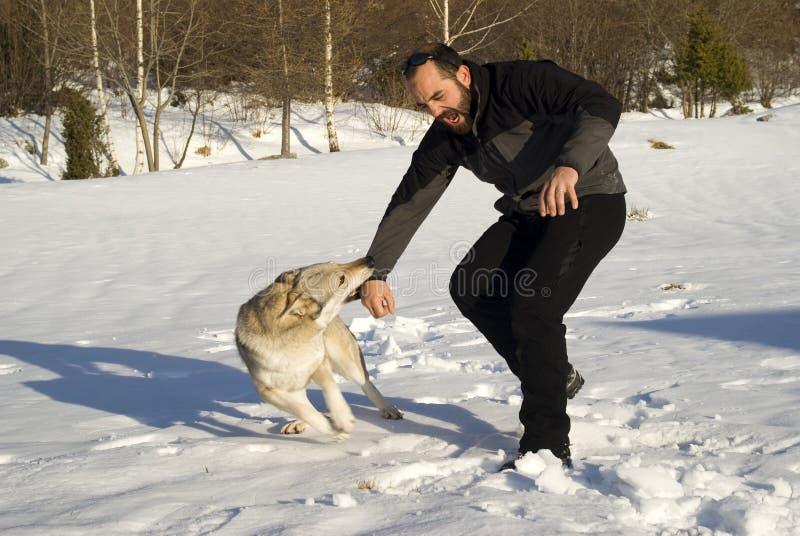 Cão de ataque fotografia de stock royalty free