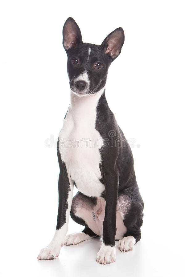 Cão de Basenji foto de stock royalty free