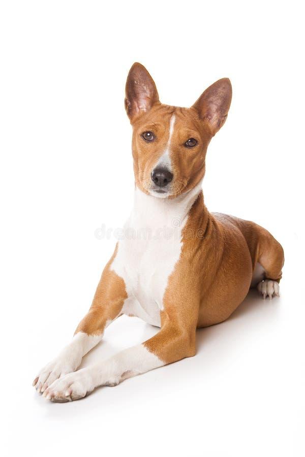 Cão de Basenji fotografia de stock royalty free
