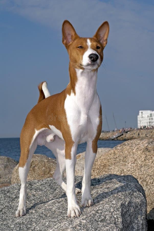 Cão de Basenji imagem de stock royalty free