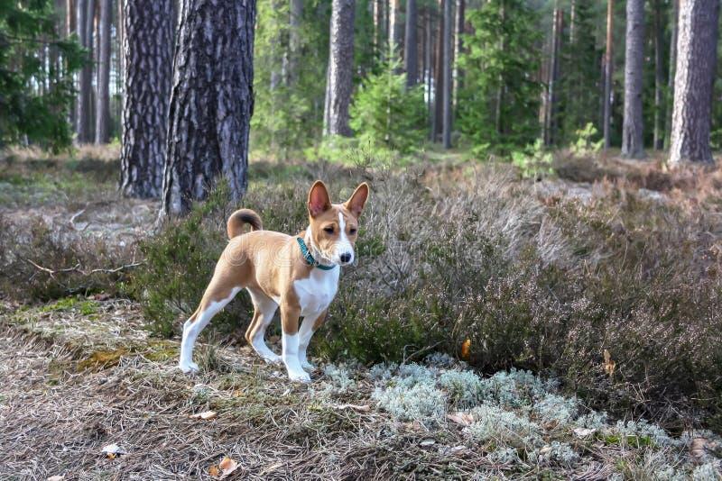 Cão de Basenji nas madeiras na mola imagem de stock royalty free