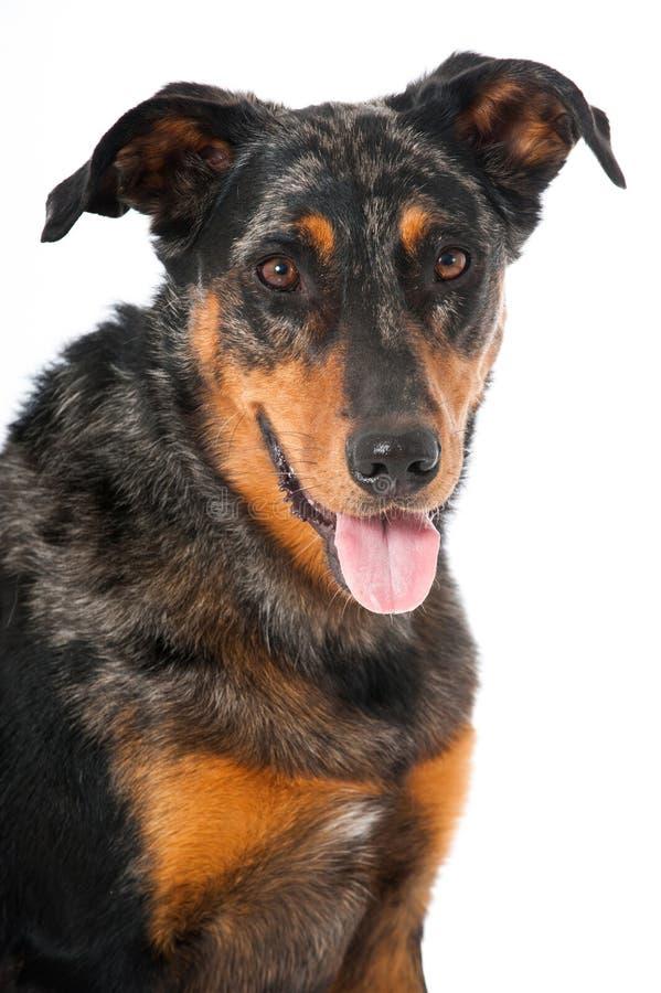 Cão de Beauceron imagens de stock