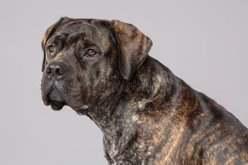 Cão de Boerboel isolado em Grey Background fotografia de stock