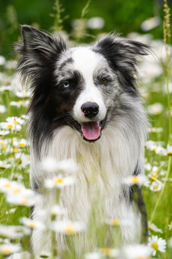 Cão de border collie no prado da flor da margarida imagens de stock