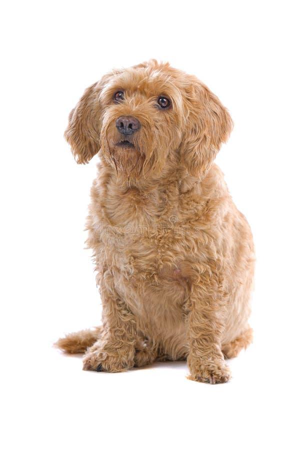 Cão de Brittany Griffon da jovem corça fotos de stock