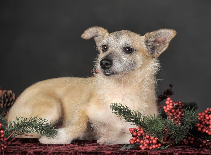 Cão de Brown fotos de stock royalty free