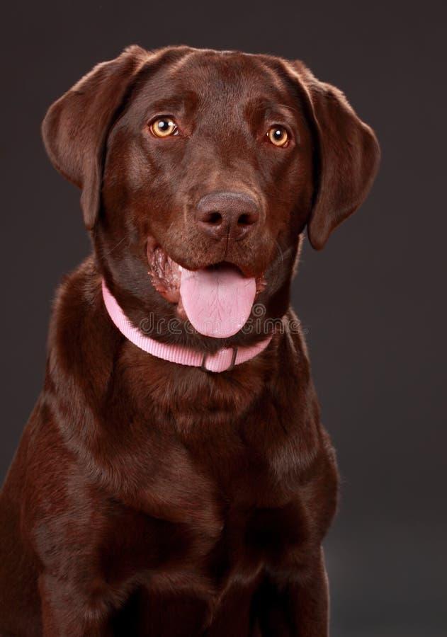 Download Cão de Brown Labrador foto de stock. Imagem de cor, adorable - 12808042