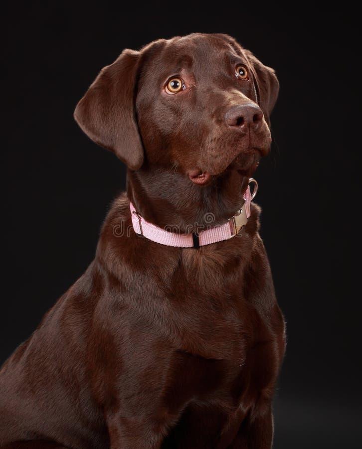 Download Cão de Brown Labrador imagem de stock. Imagem de labrador - 12809045
