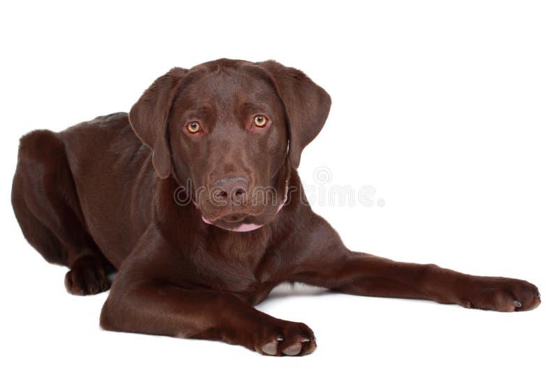 Cão de Brown Labrador fotos de stock royalty free