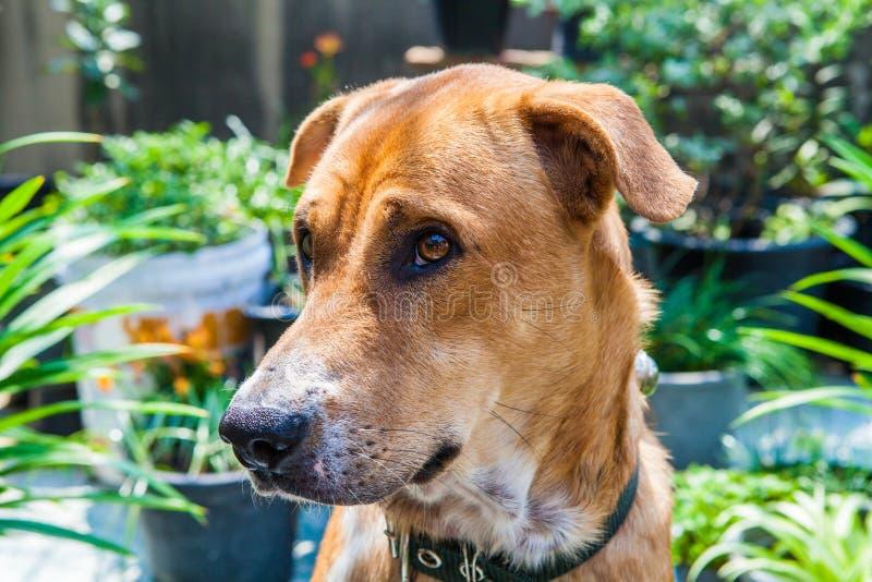 Cão de Brown no jardim fotos de stock royalty free