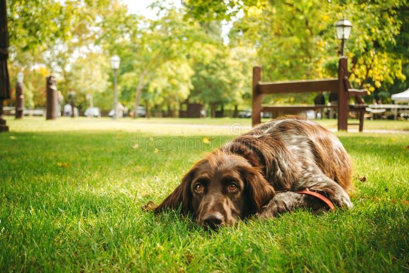 Cão de Brown que encontra-se apenas no proprietário de espera da grama, caçando o cão de arma foto de stock royalty free
