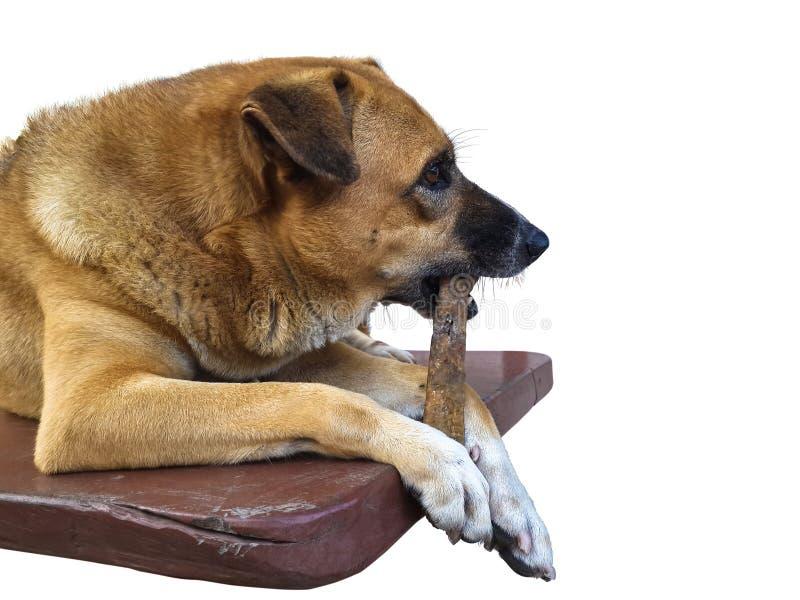 Cão de Brown que mastiga o deleite do dogchew do couro cru imagens de stock