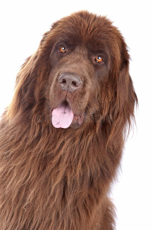 Cão de Brown Terra Nova fotografia de stock