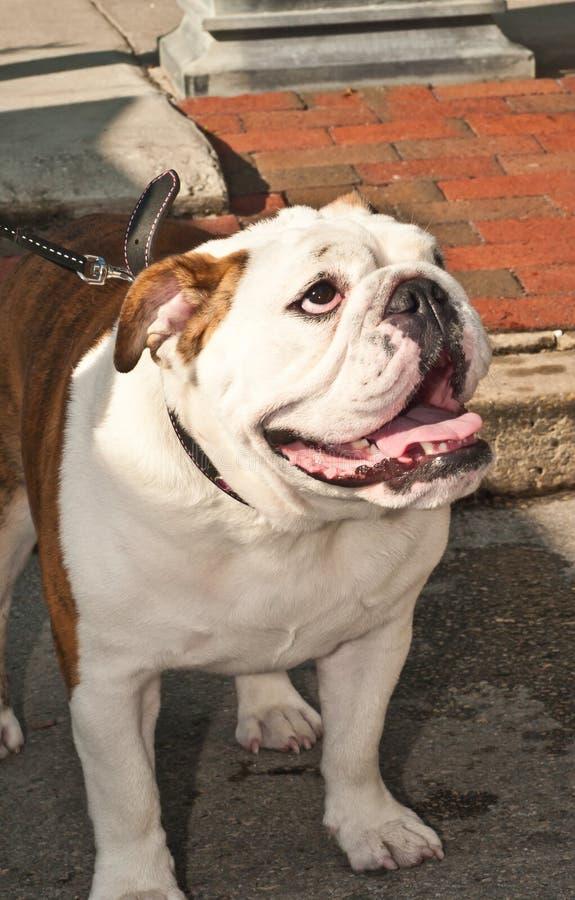 Cão de Bull do inglês fotos de stock royalty free