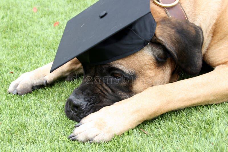 Cão de Bullmastiff que veste um tampão preto da graduação imagem de stock