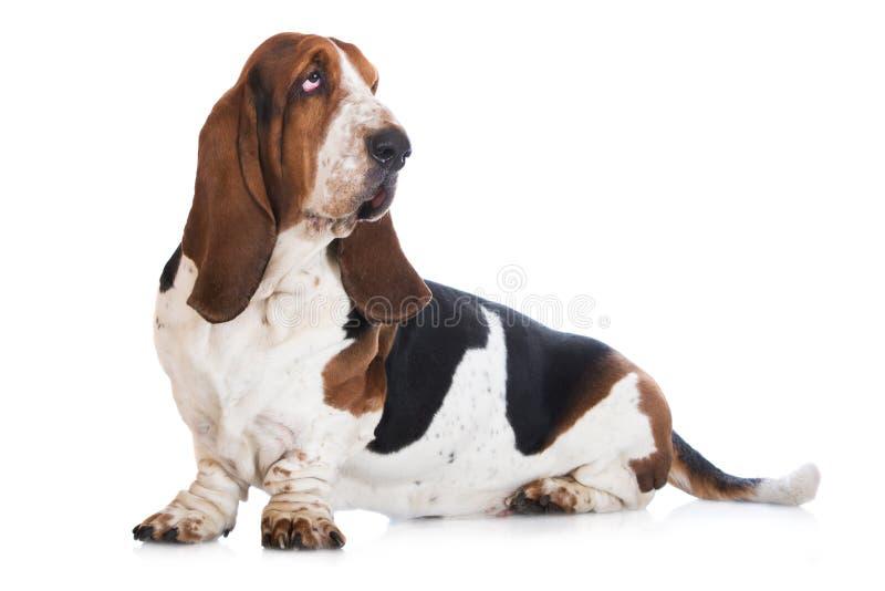 Cão de cão do Basset no branco imagem de stock