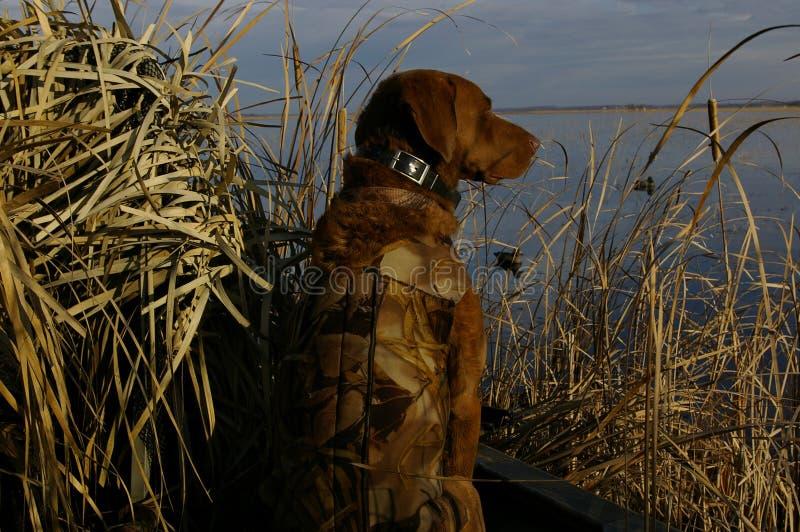 Cão de caça do pato imagens de stock royalty free