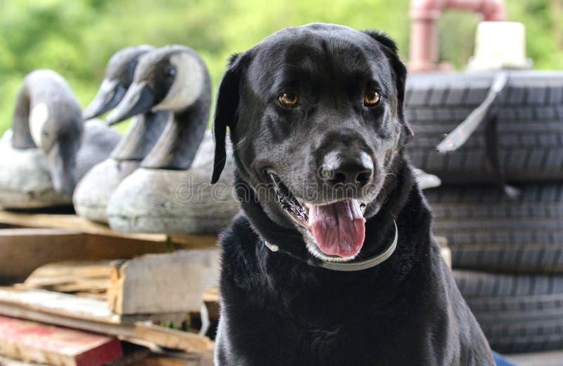 Cão de caça do pato de labrador retriever com chamarizes do ganso de Canadá imagens de stock